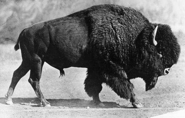 a black and white photo of a bison