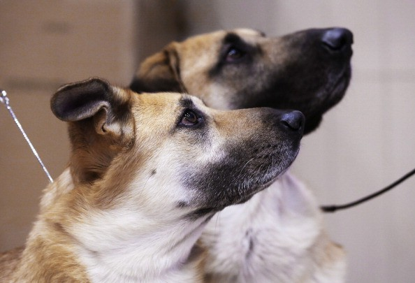Chinooks watch their owners during a media event ahead of the 138th Westminster Kennel Club Dog Show.