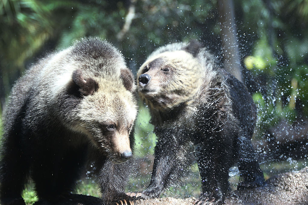 a pair of grizzly cubs shaking off