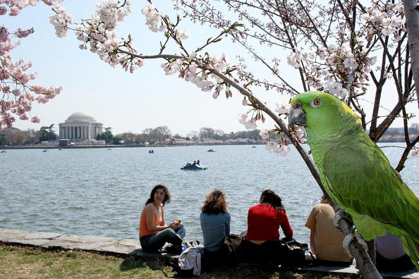 a parrot in a cherry tree in washington DC