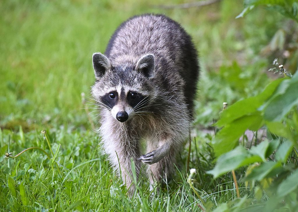 a raccoon walks through a grassy field