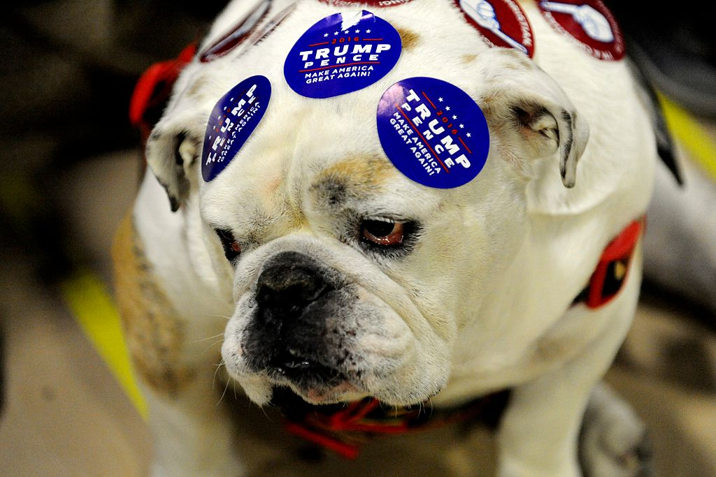 a bulldog wearing pro-Trump stickers