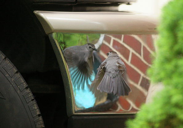 a mockingbird attacks its reflection in a car mirror