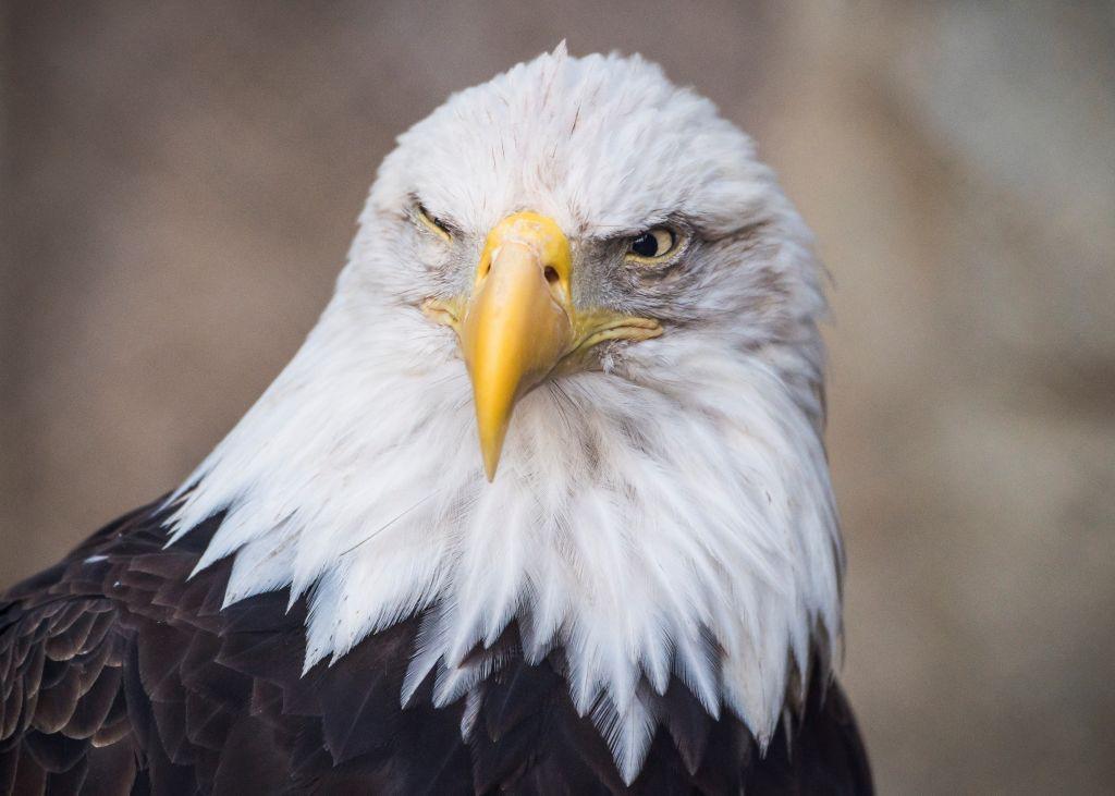 a tight shot of a bald eagle's head