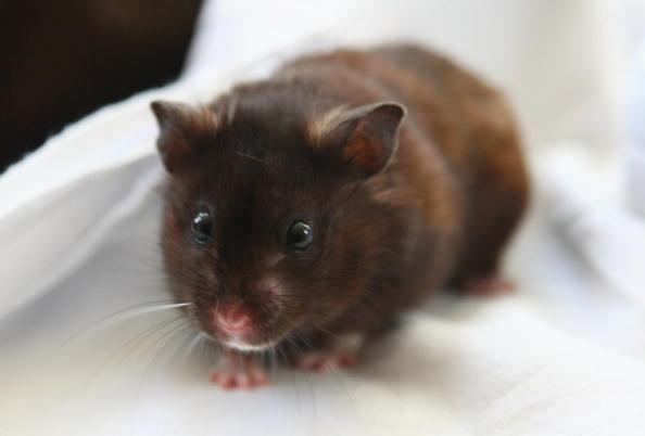 a brown pet hamster