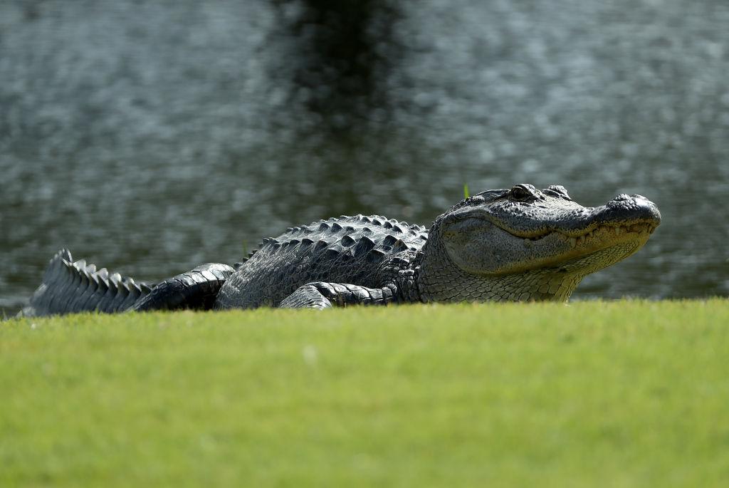 an alligator on a golf course near a pond