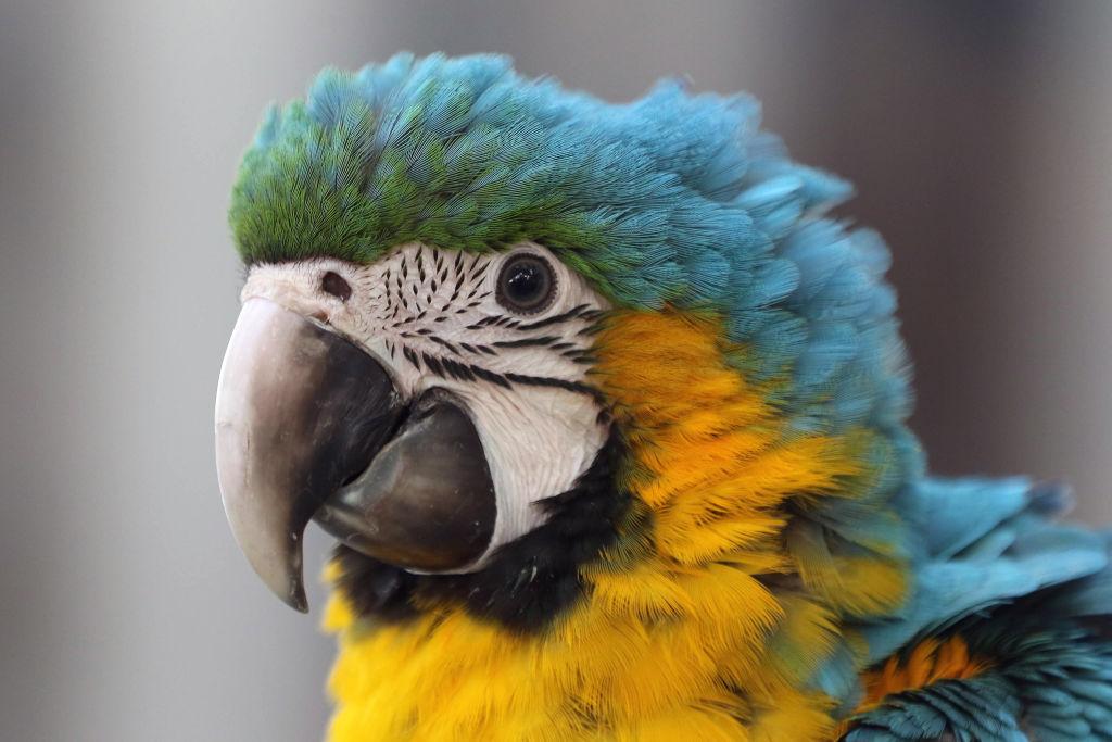 a blue headed macaw