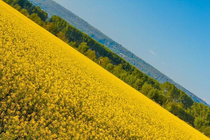 an explosion of yellow blooming of the rapeseed plant