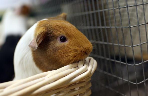 a guinea pig peeking out of a basket