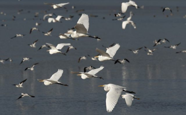 Great egrets and American avocets