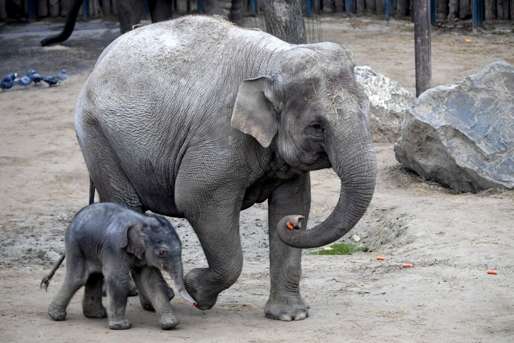 A one-day old baby Asiatic elephant walking next to his mother