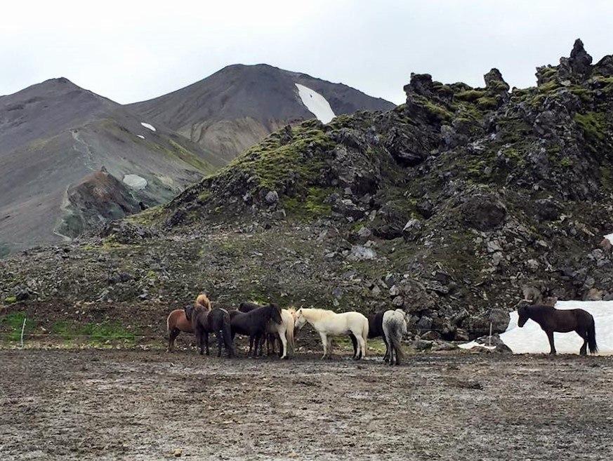 Iceland horses at landmannalaugar
