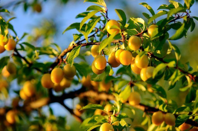 Mirabelle plums on a tree branch.
