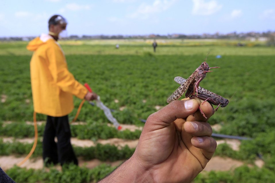 A Palestinian farmer displays a locust at a farm in Khan Yunis
