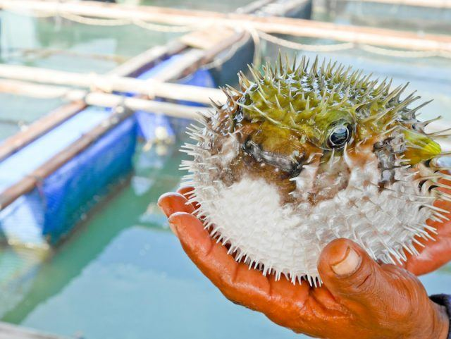 A fishmerman holds a puffer fish.