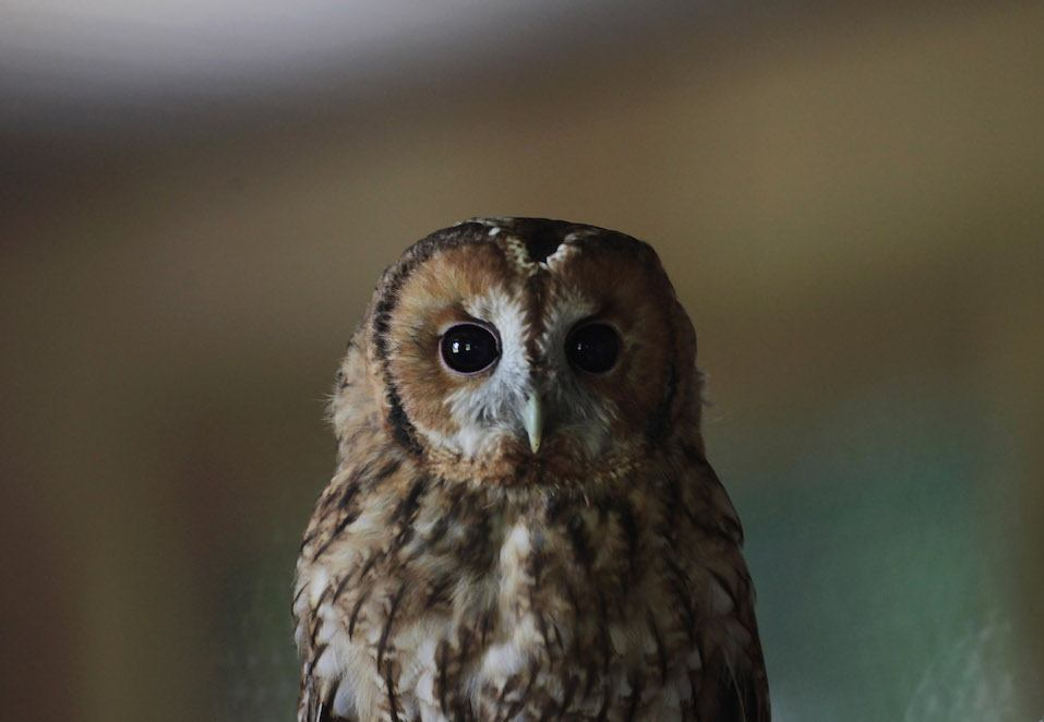 A rescued young tawny owl perches on a branch