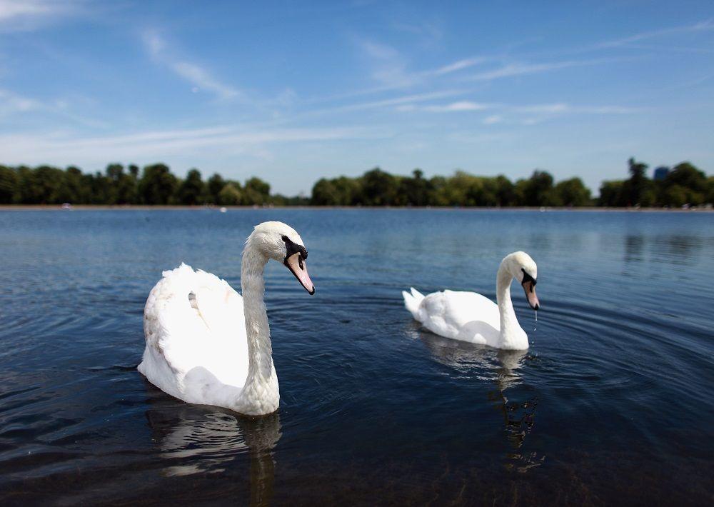Swans swim on Round Pond in Hyde Park