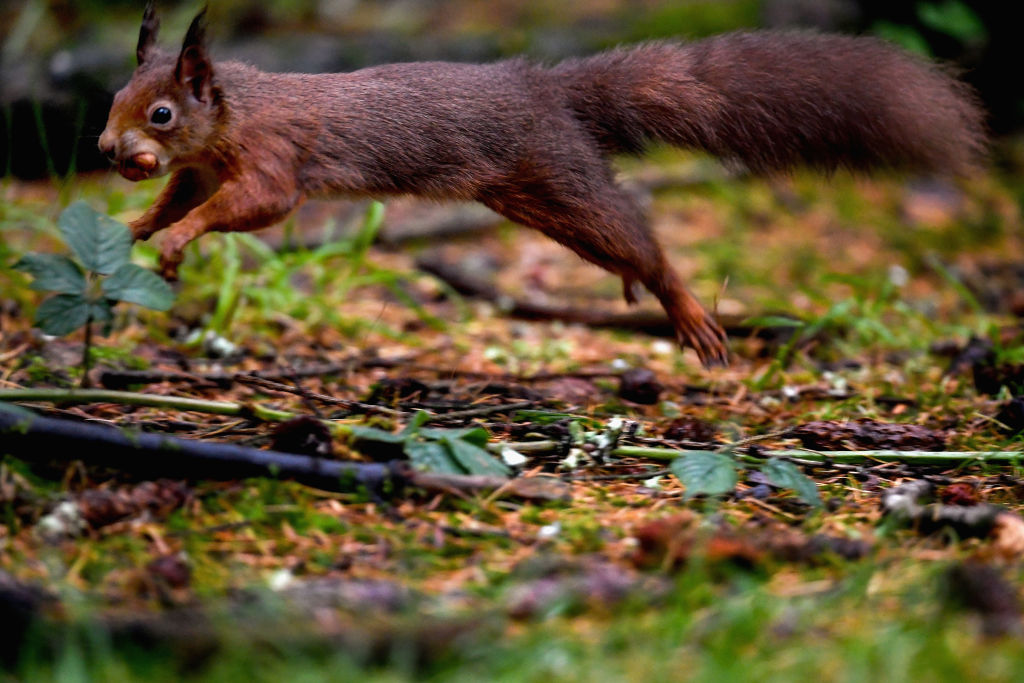 A red squirrel stocks up on nuts in Queen Elizabeth Forest
