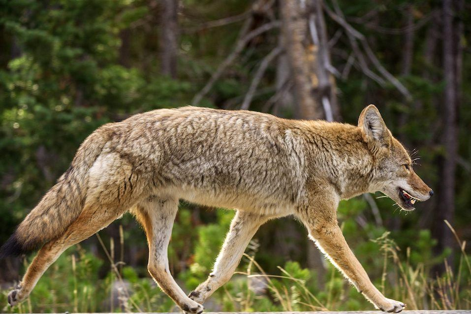 A coyote keeps pace with a car (not seen) as it runs down the road