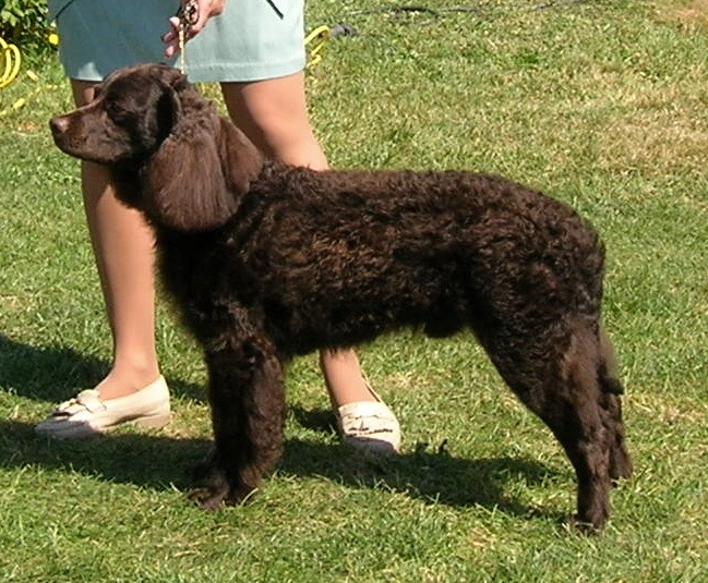 side view of American water spaniel