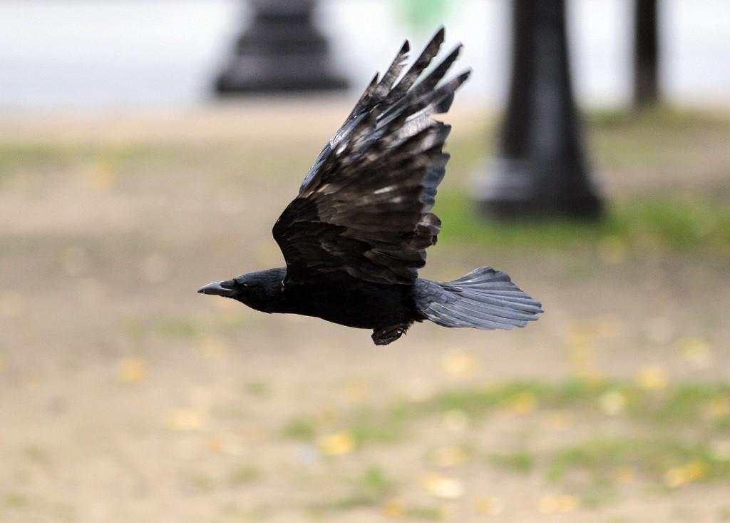 A crow flies