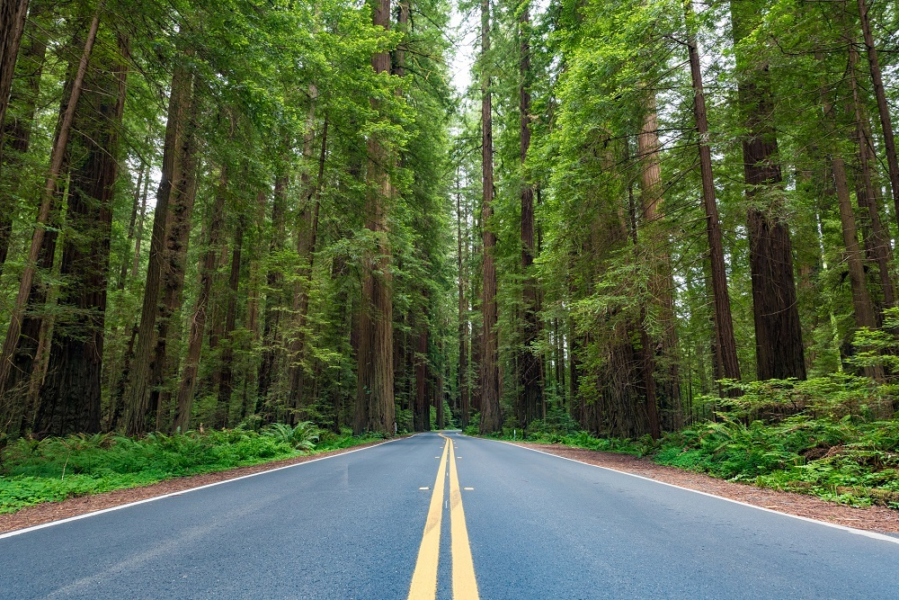 Coastal Redwood trees along the Avenue of the Giants in Redwood National
