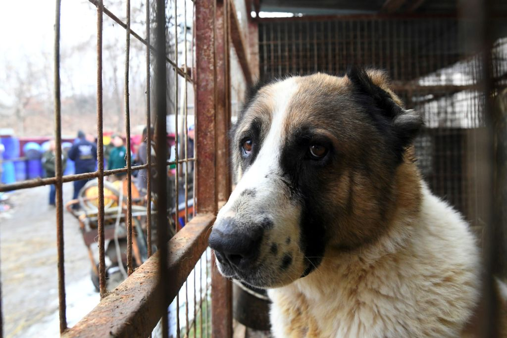 Korea dog meat farm