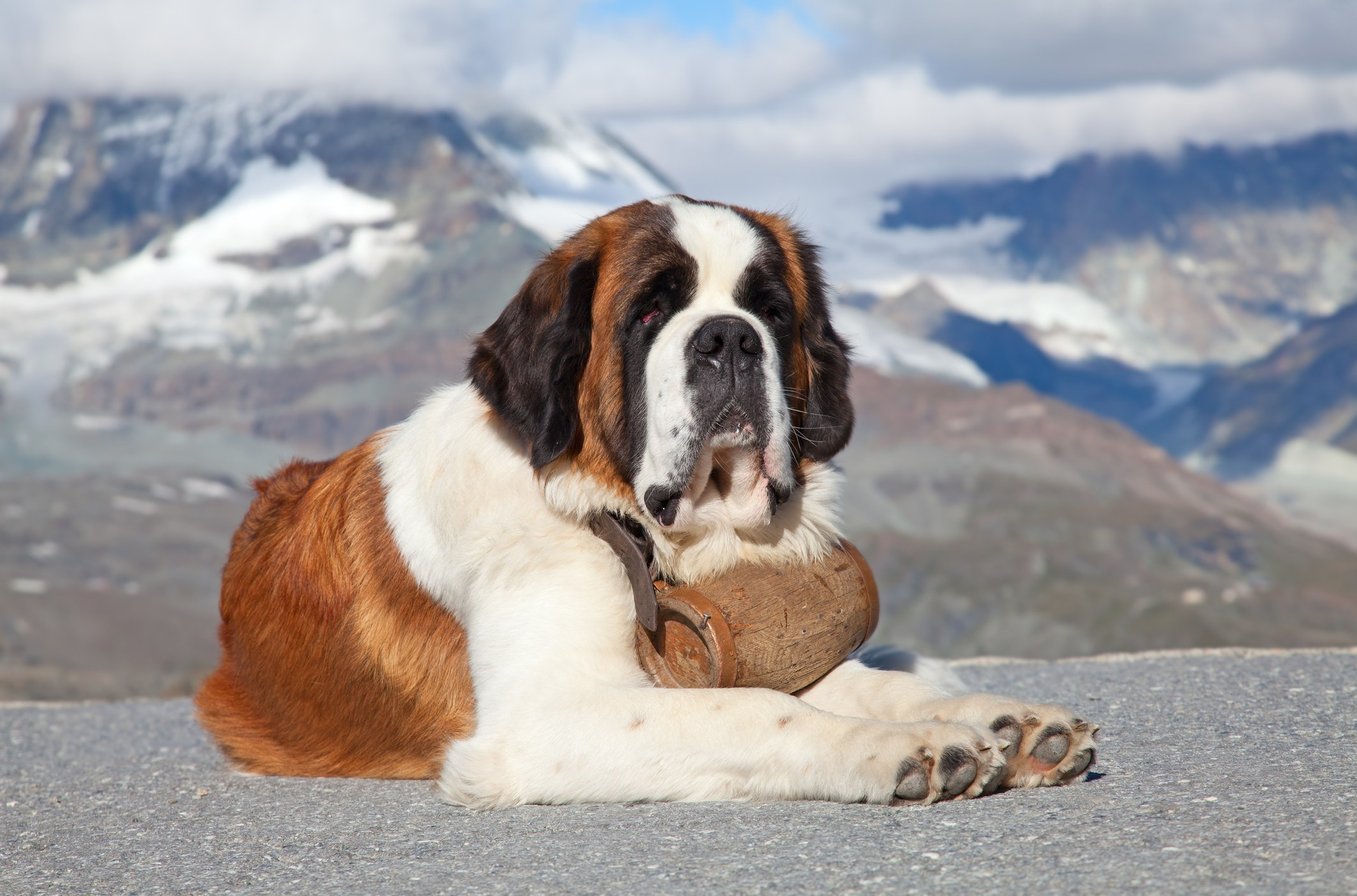 St. Bernard dog sitting with a mountain background