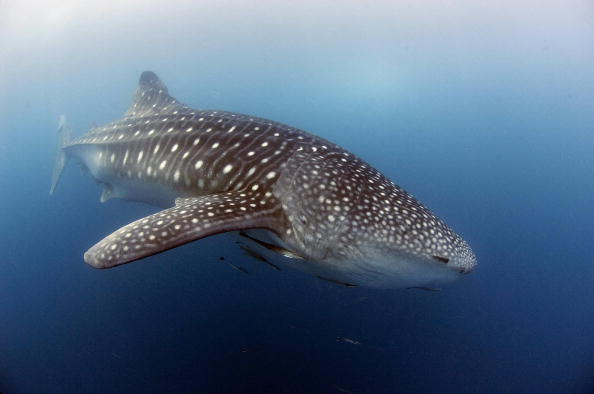A whale shark, nearly six meters (20 feet) long, swims near the surface of the plankton-rich water of Donsol in the Philippines