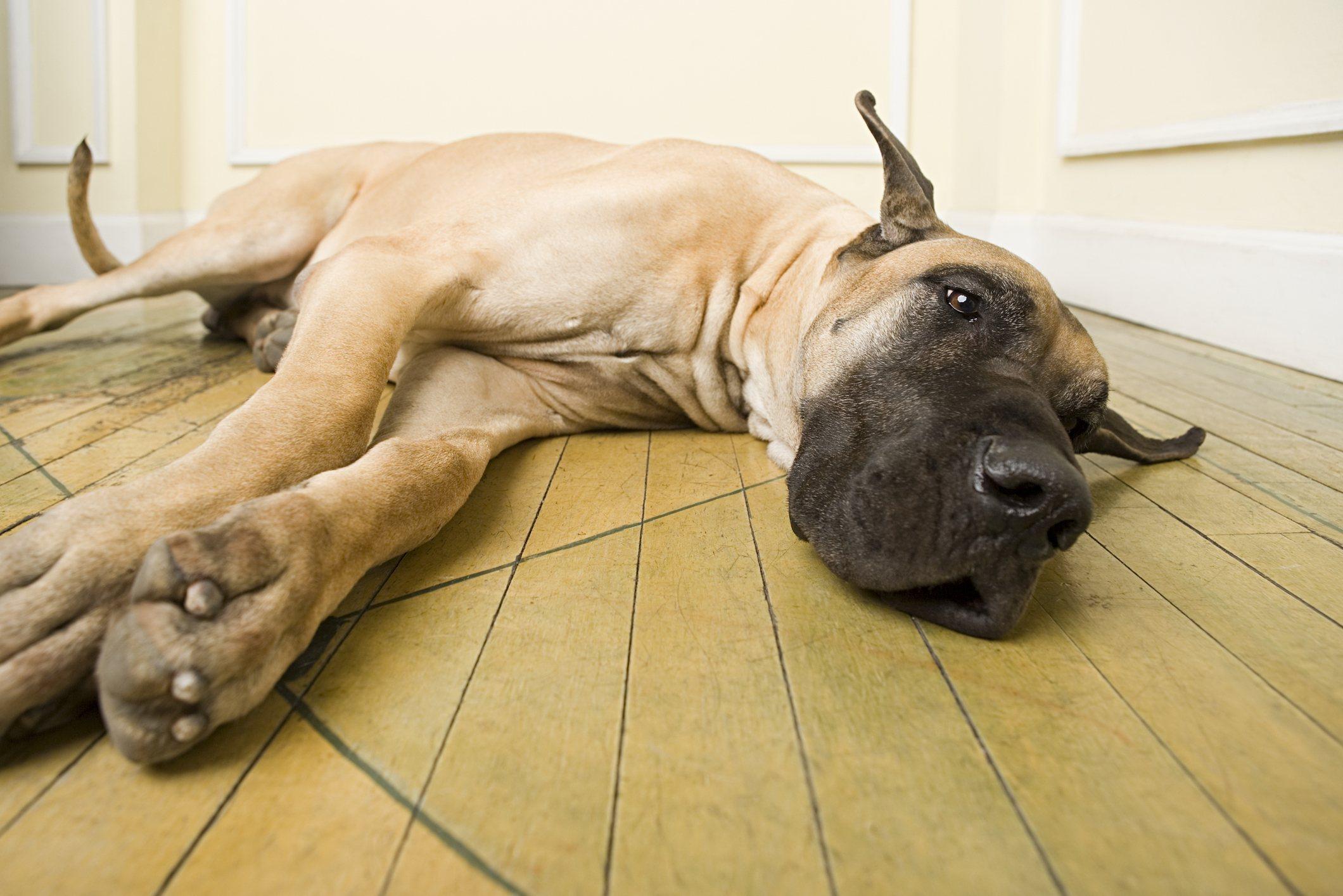 Great Dane lying on floor