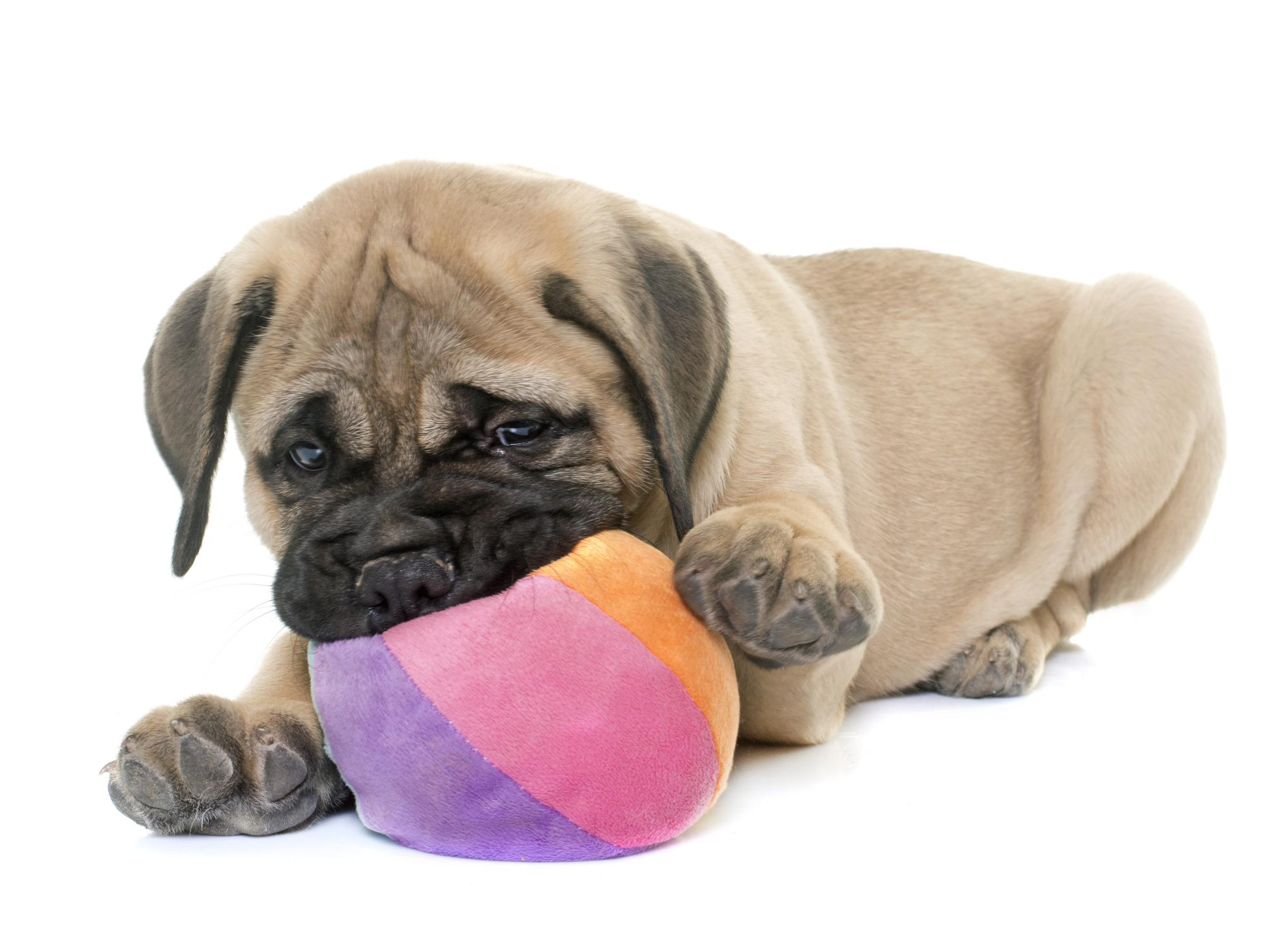 puppy bull mastiff playing with toy