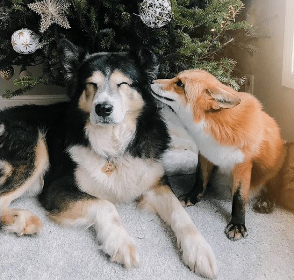 Juniper the fox and dog