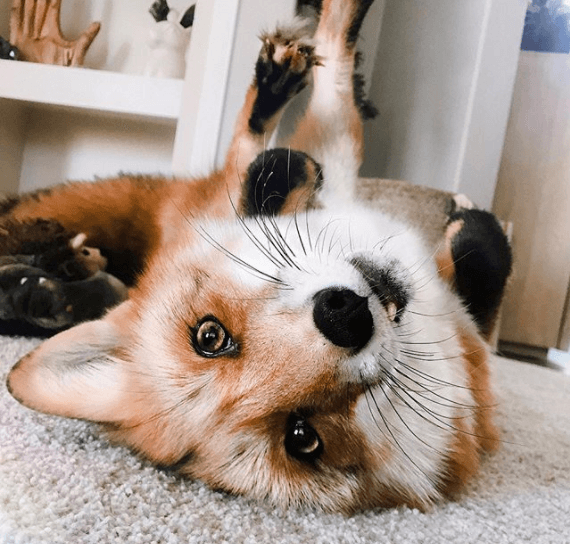 Juniper the fox cute