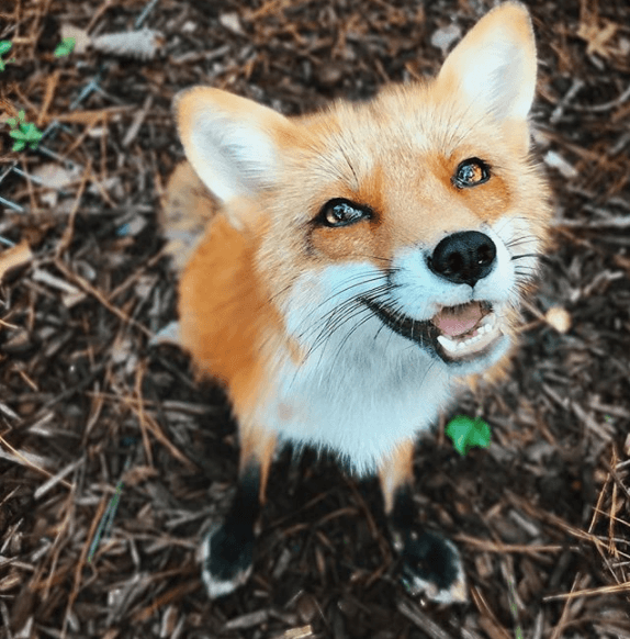Juniper the fox