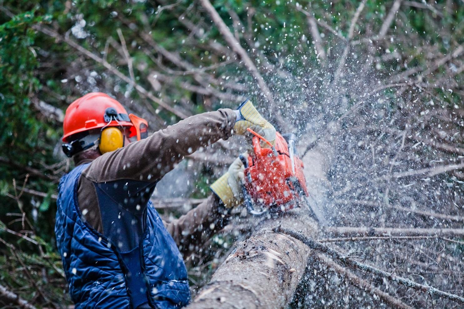Lumberjack or logger cutting tree