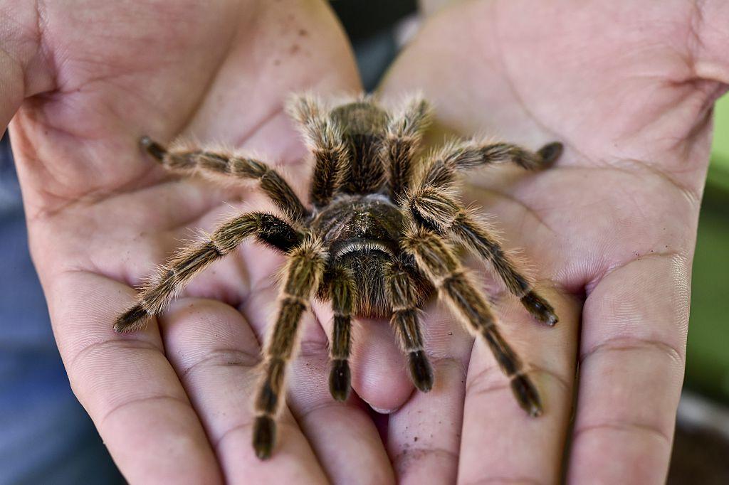 Tarantula on man's hand