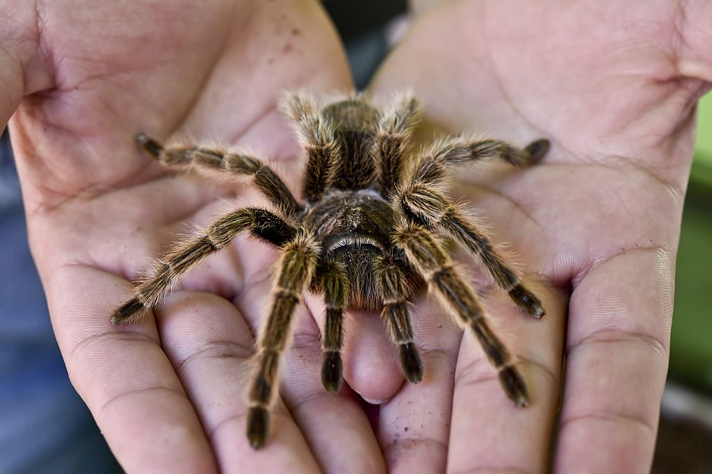 Tarantula on man's hand