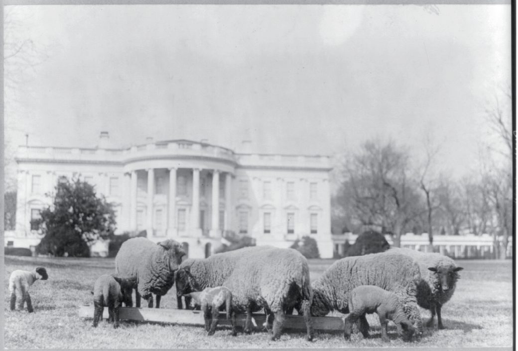 Woodrow Wilson grazing sheep