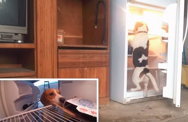 a beagle getting a pizza from the refrigerator