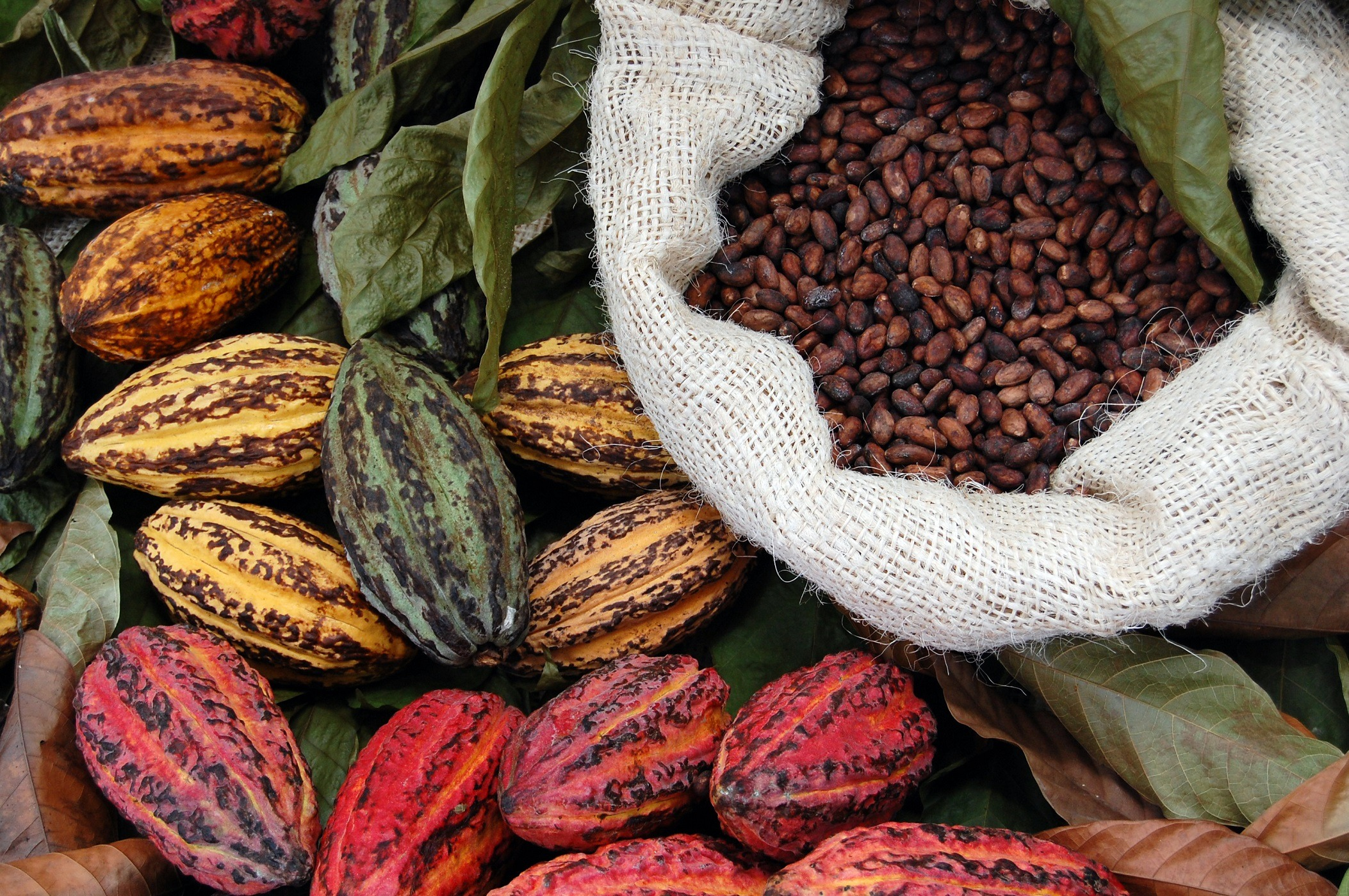 Cocoa beans in a bag with fresh pods next to it