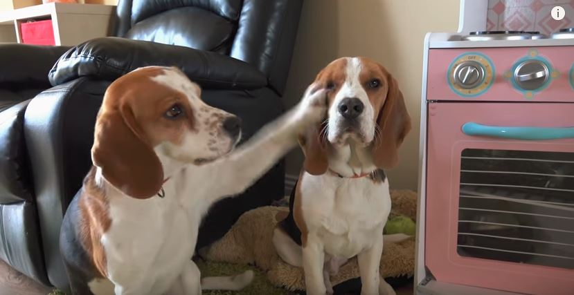 one beagle slapping another beagle