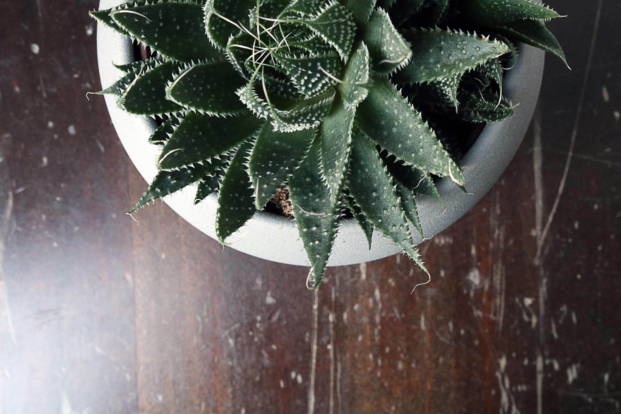 isolated cactus/succulent