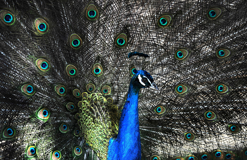 A peacock walks inside an open-air cage