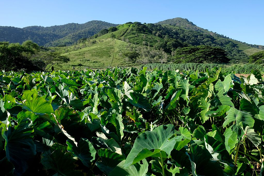A picture shows a taro field