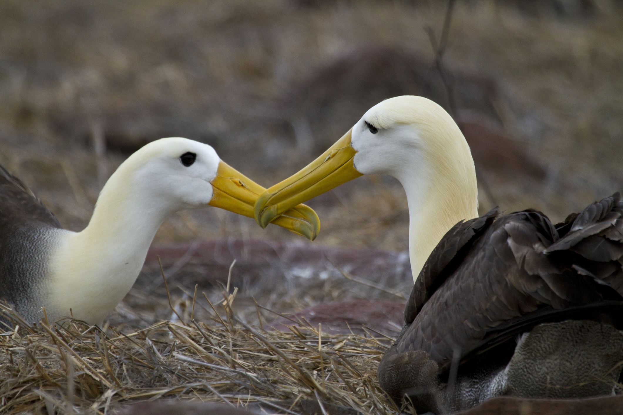 Waved Albatross courting