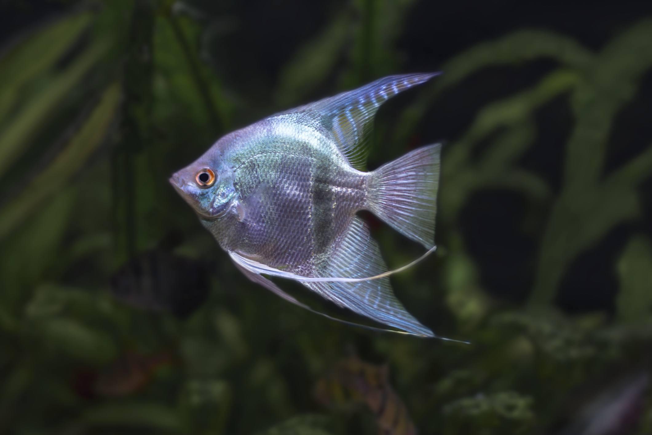 Angelfish pterophyllum scalare aquarium fish