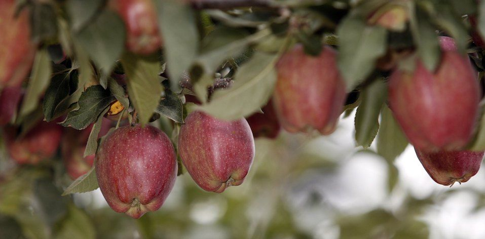 Red Delicious apples hang from the branches