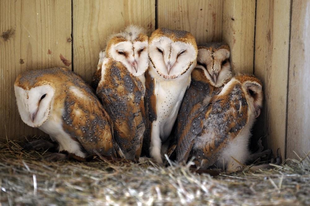 Babies Barn Owl