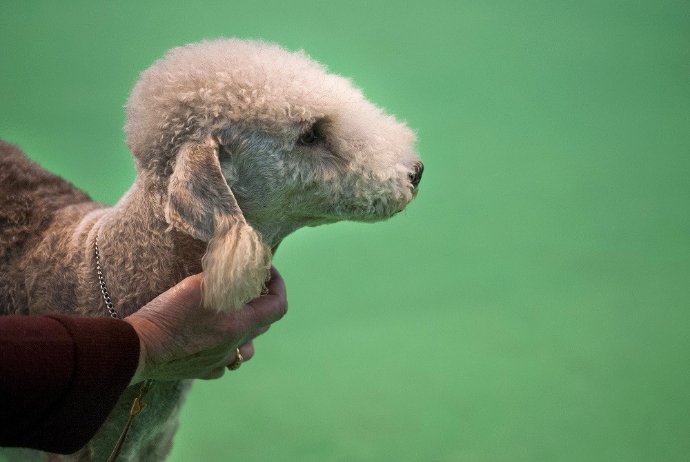An owner holds his Bedlington Terrier during the first day of the Crufts dog show