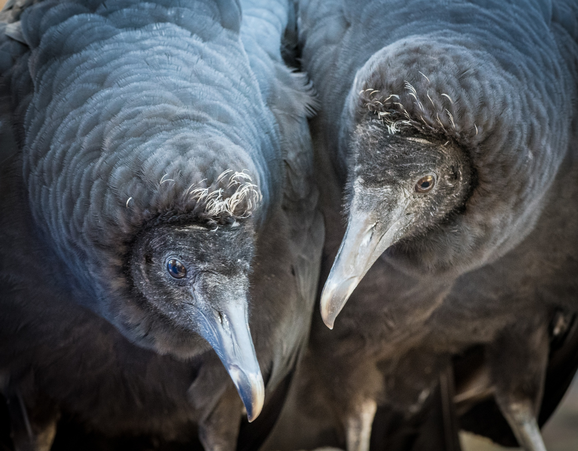 A pair of black vultures